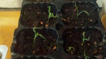 Primeras hojas verdaderas en guindillas tipo piparra