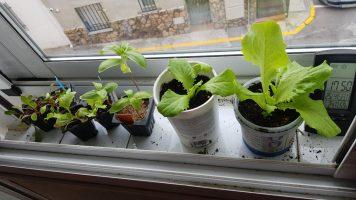 [Vídeo] Cultivo en interior. Plantas en el alféizar de la (doble) ventana.