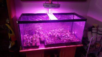 [Vídeo] Un guindillero, y más, en un acuario. Cultivo en interior.